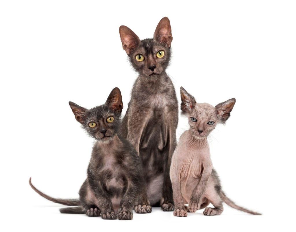 Kucing Tanpa Bulu Lykoi