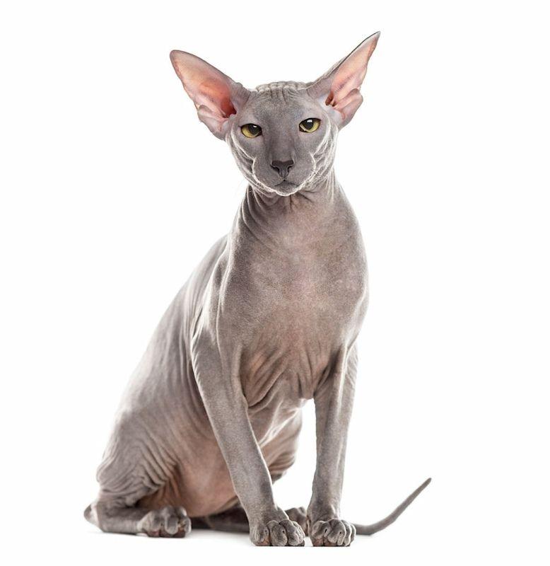 Kucing Tanpa Bulu Peterbald