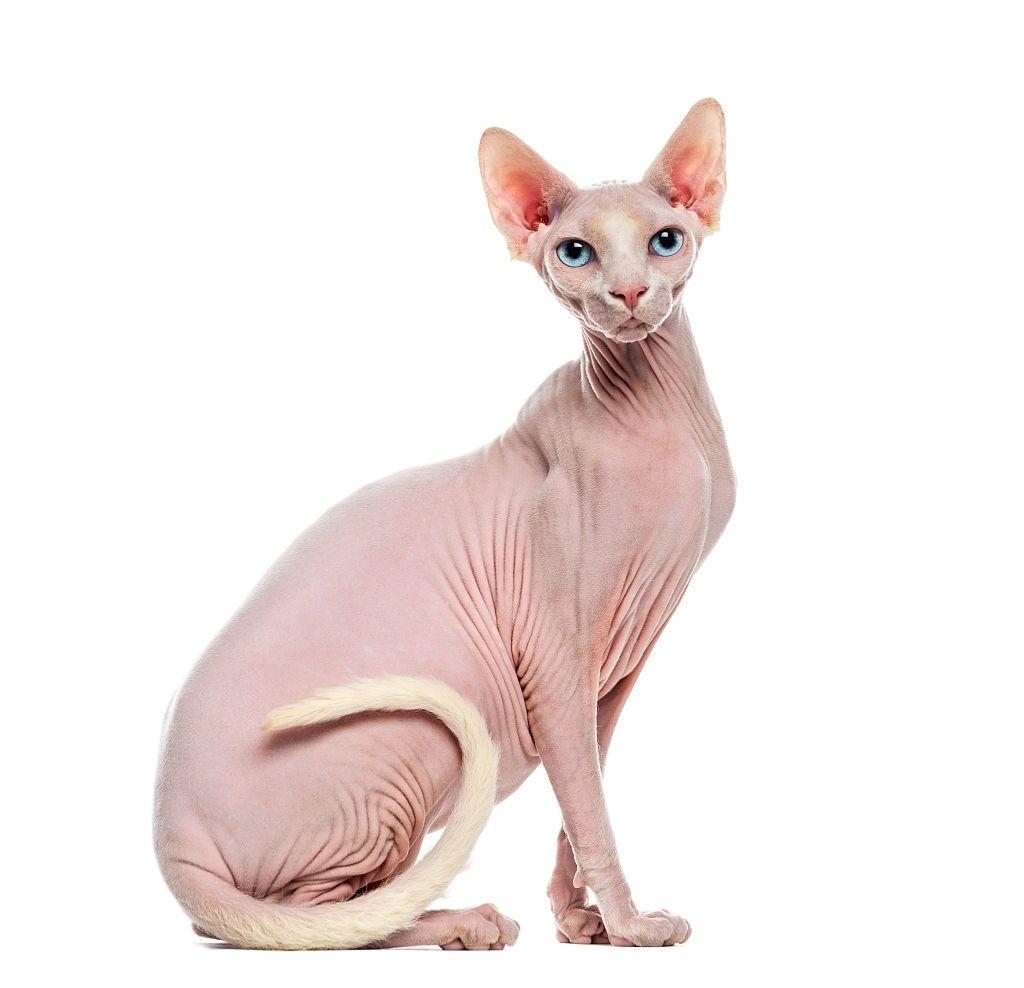 Kucing Tanpa Bulu Sphynx
