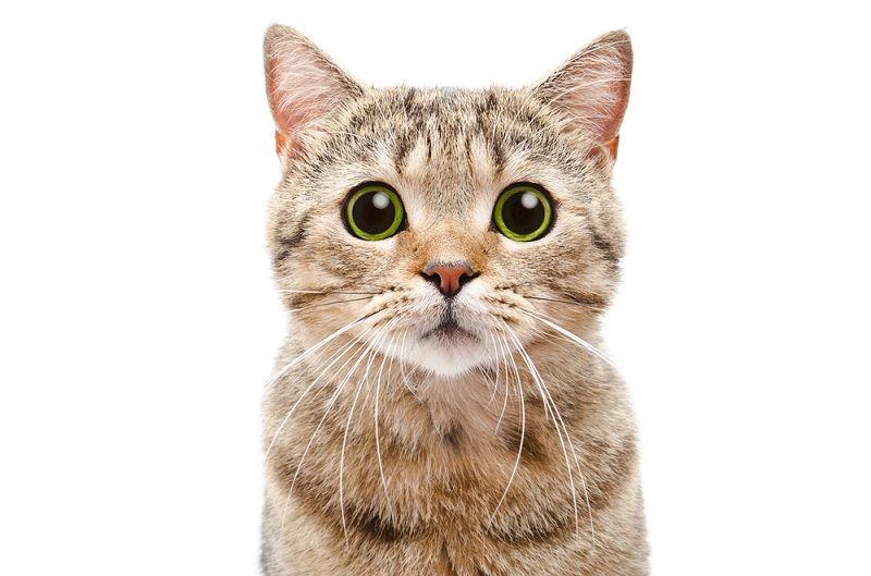 Mengenal Jenis-jenis Kucing di Indonesia