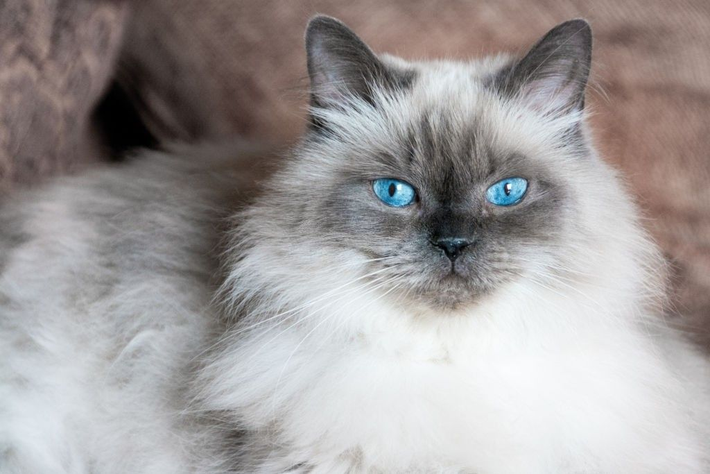 Jenis Kucing Bermata Biru Himalaya