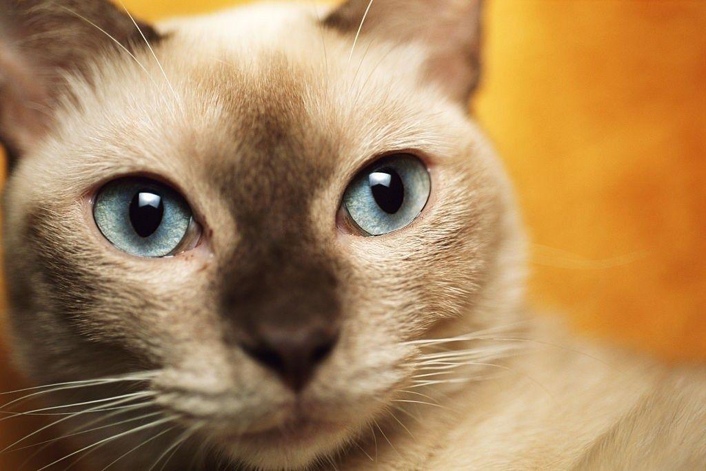 Jenis Kucing Bermata Biru Tonkin