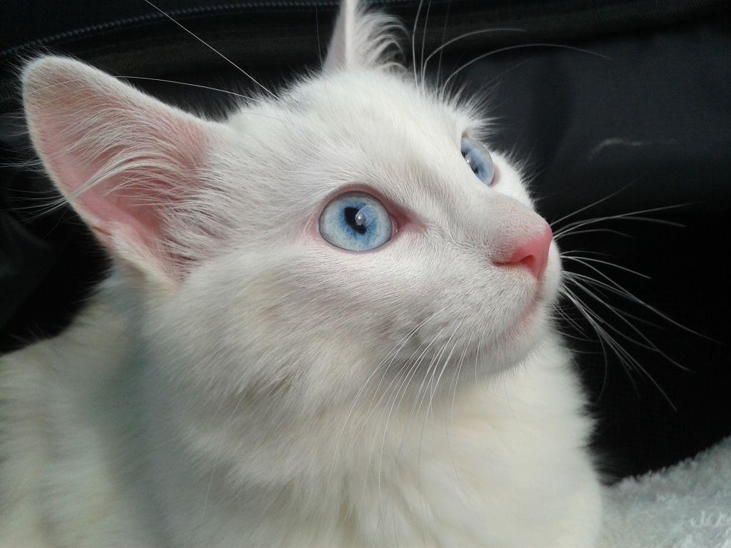 Jenis Kucing Bermata Biru Turkish Angora