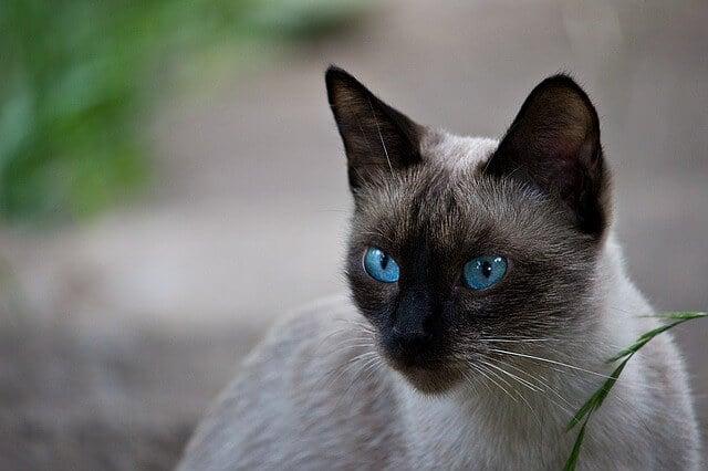 Jenis kucing bermata biru - Kucing Siam
