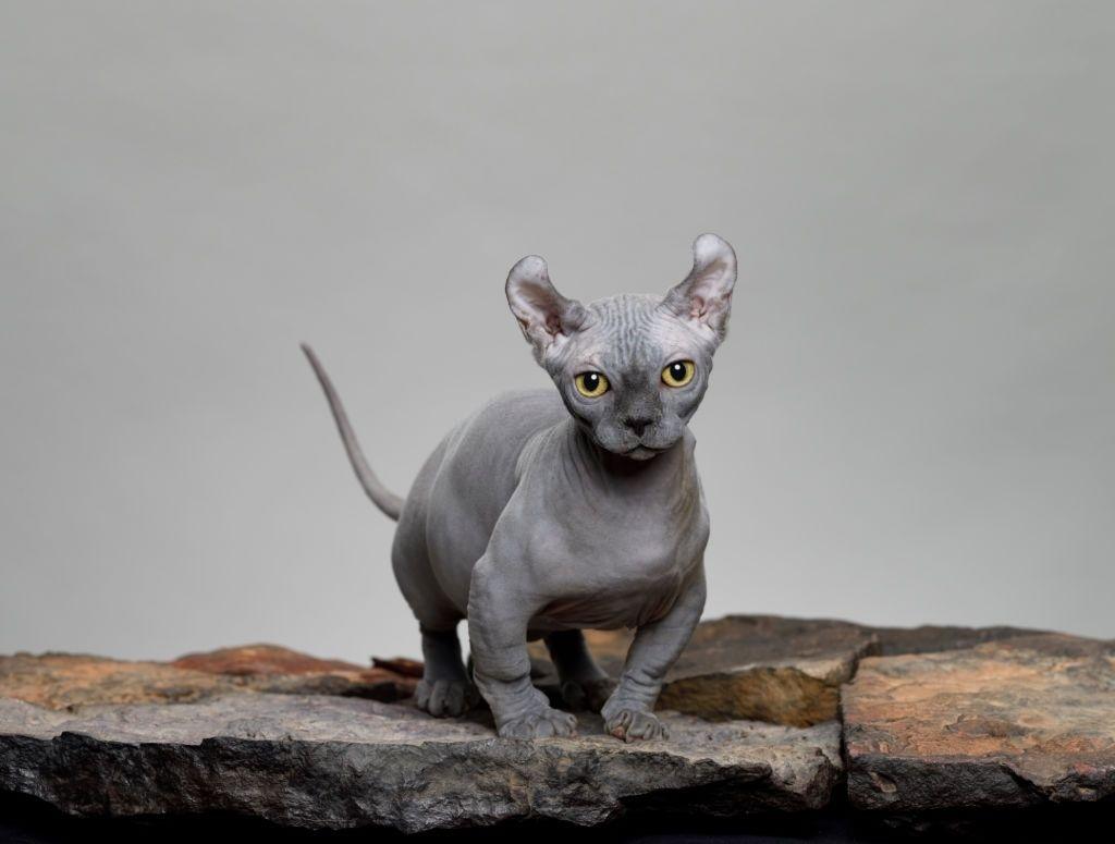 Jenis Kucing Kaki Pendek Dwelf