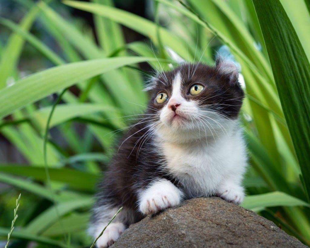 Jenis Kucing Kaki Pendek Kinkalow