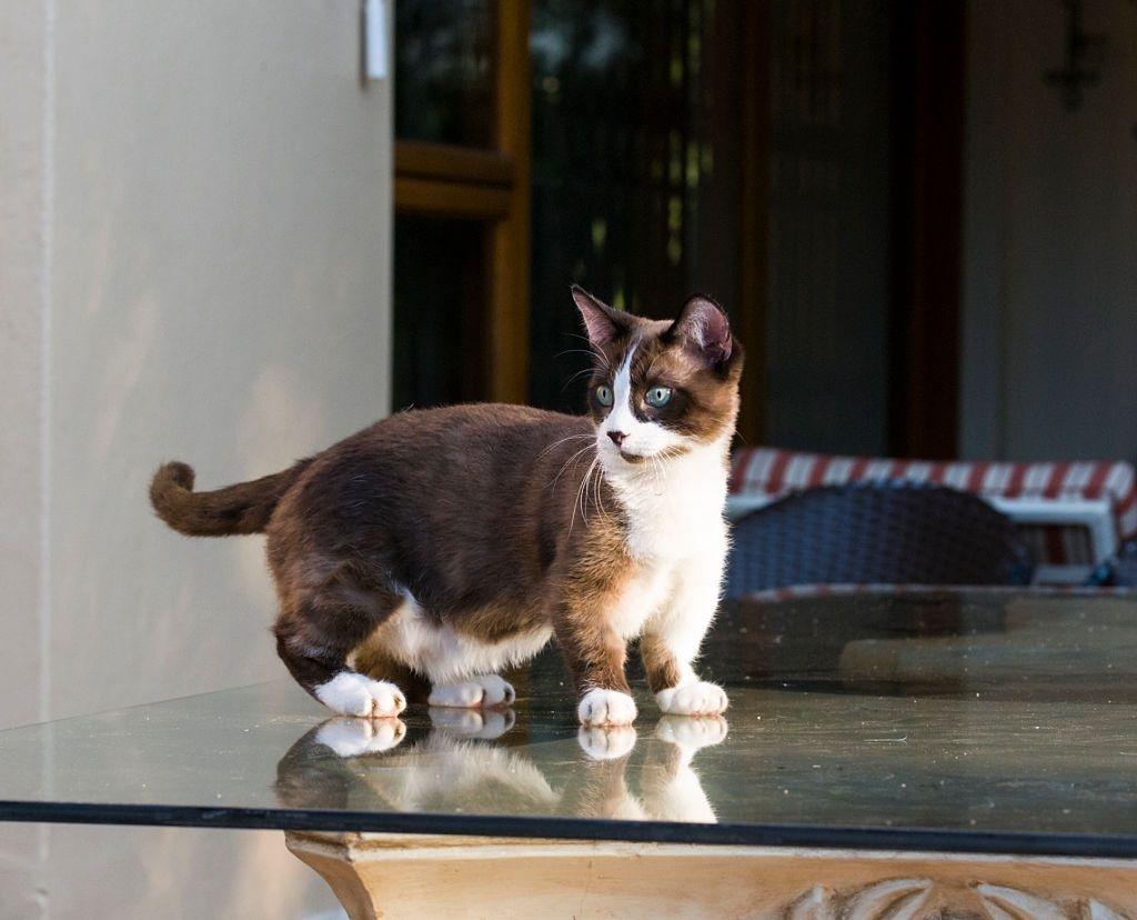 Jenis Kucing Kaki Pendek Munchkin