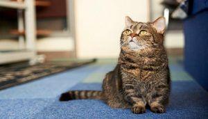 Jenis Kucing Kaki Pendek
