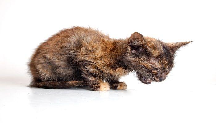 Virus Kucing