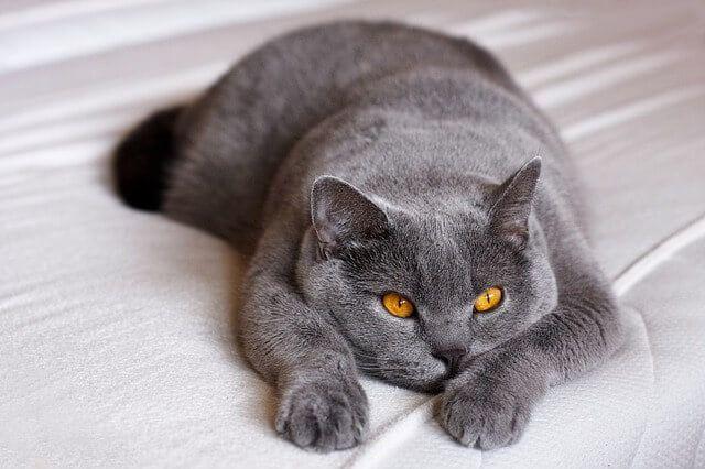 Kucing Termahal