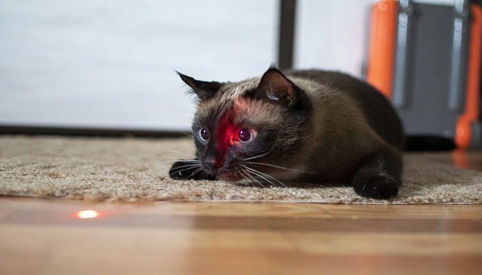 Kenapa Kucing Suka Laser