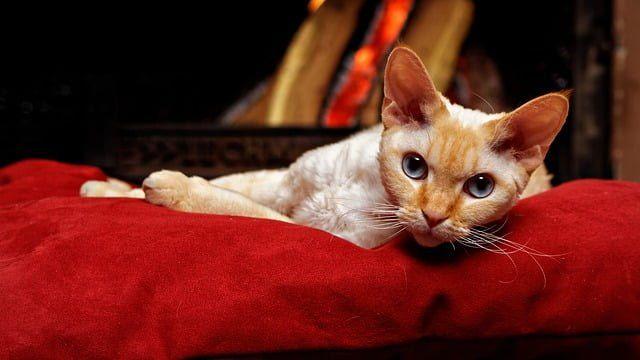 Kucing Bertelinga Lebar