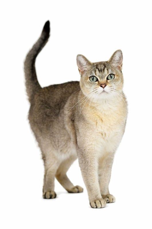 Ciri-ciri Kucing Burmilla