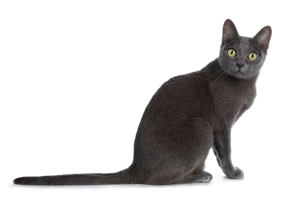 Ciri-ciri Kucing Korat