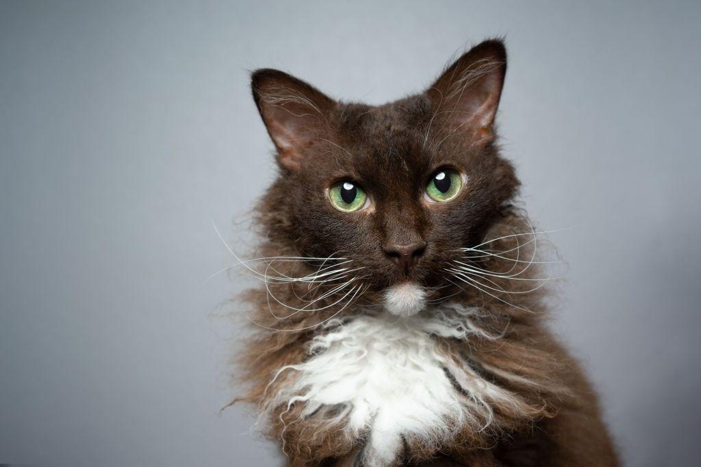 Ciri-ciri Kucing LaPerm