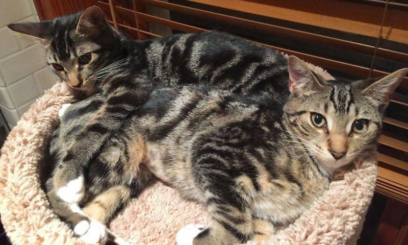 Ciri-ciri Kucing Sokoke