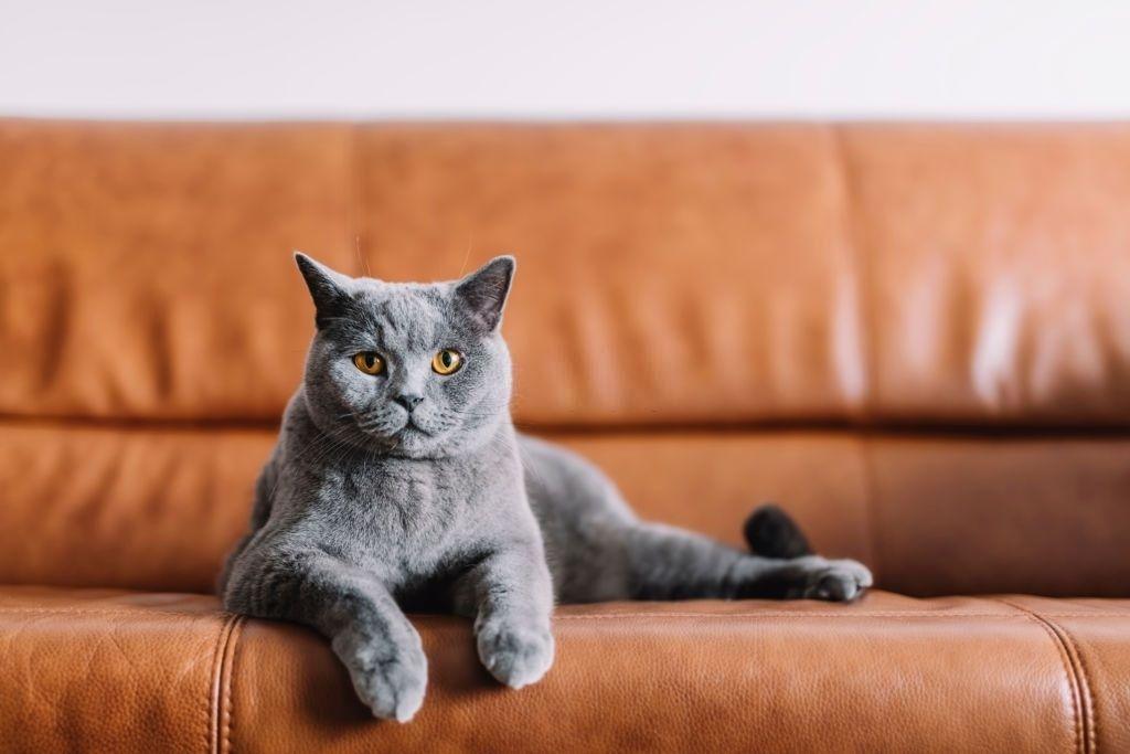 Jenis Kucing Langka Chartreux