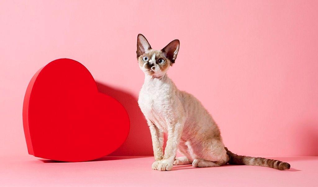 Jenis Kucing Langka Devon Rex