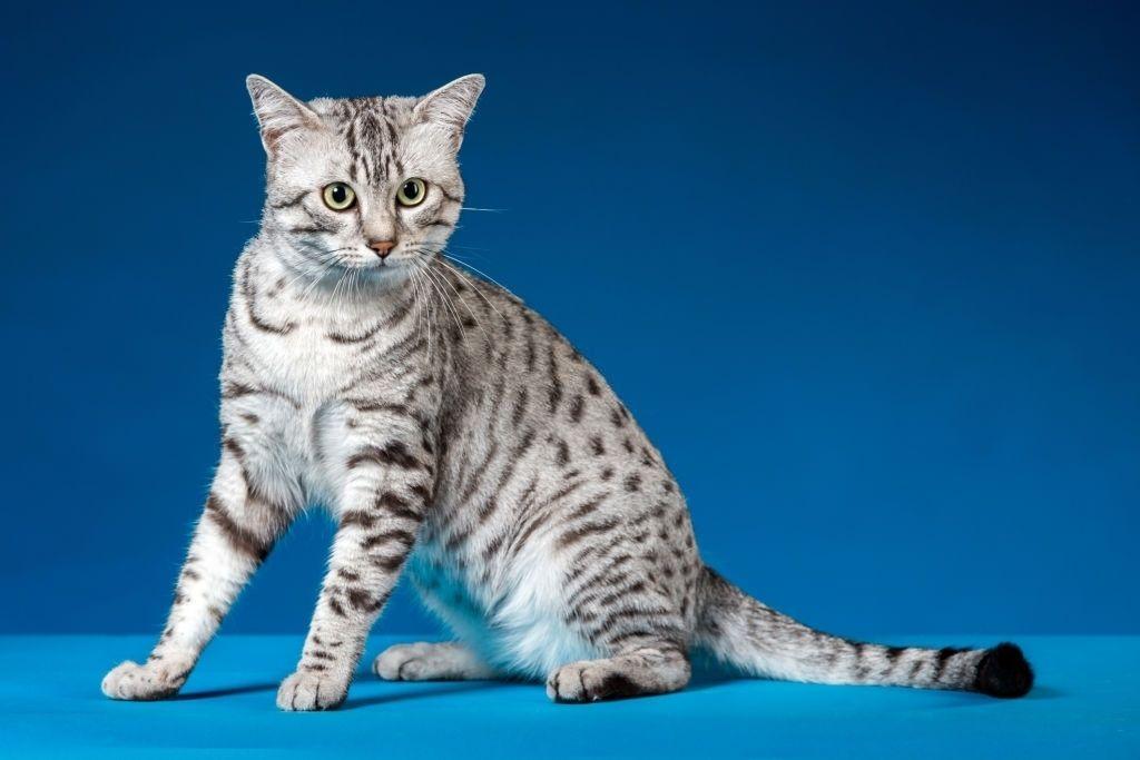 Jenis Kucing Langka Egyptian Mau