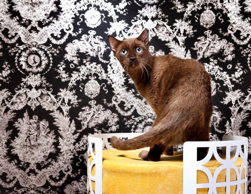 Jenis Kucing Langka Havana Brown
