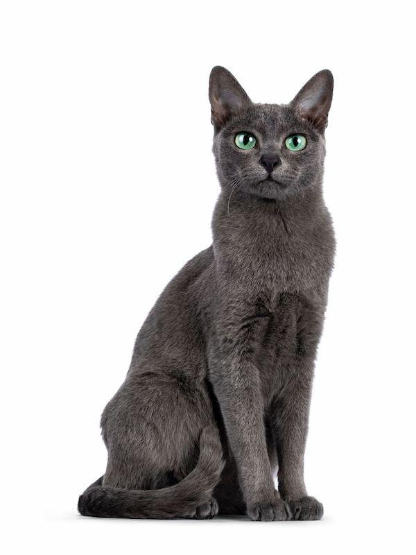 Jenis Kucing Langka Korat