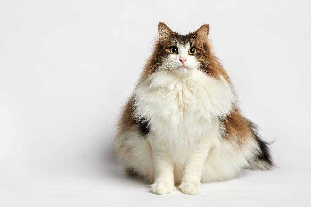 Jenis Kucing Langka Kucing Hutan Norwegia