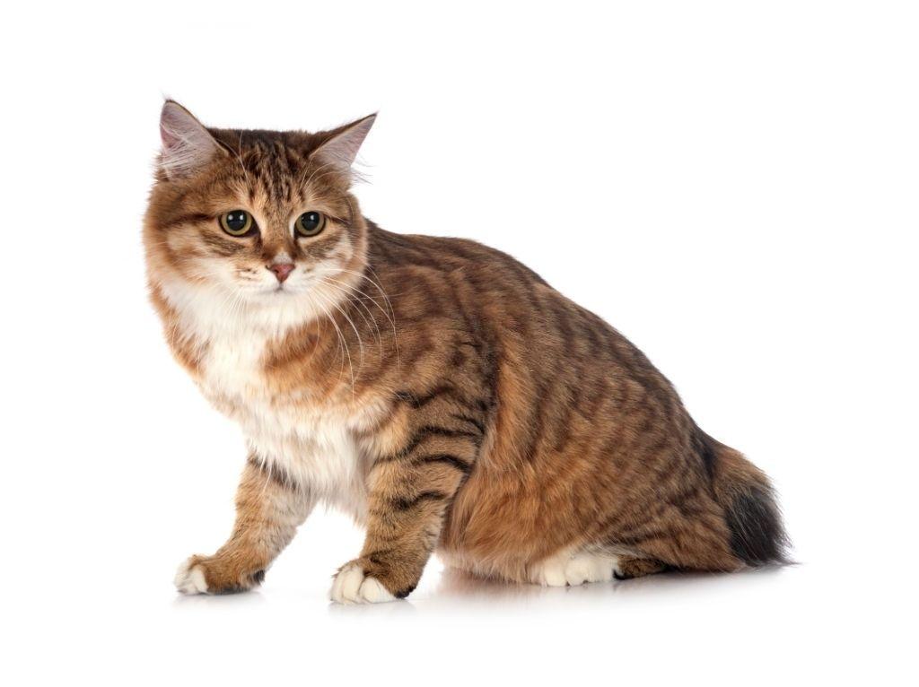 Jenis Kucing Langka Kurilian Bobtail