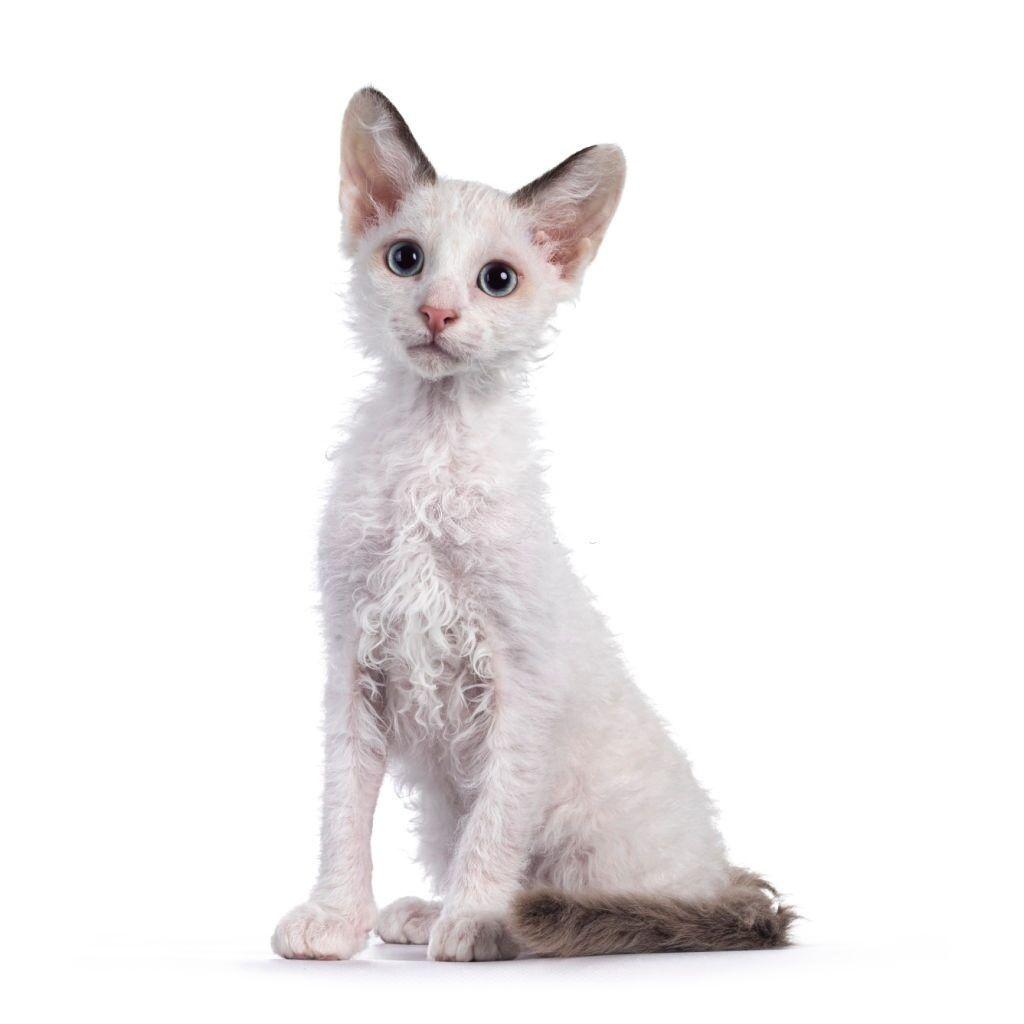 Jenis Kucing Langka LaPerm