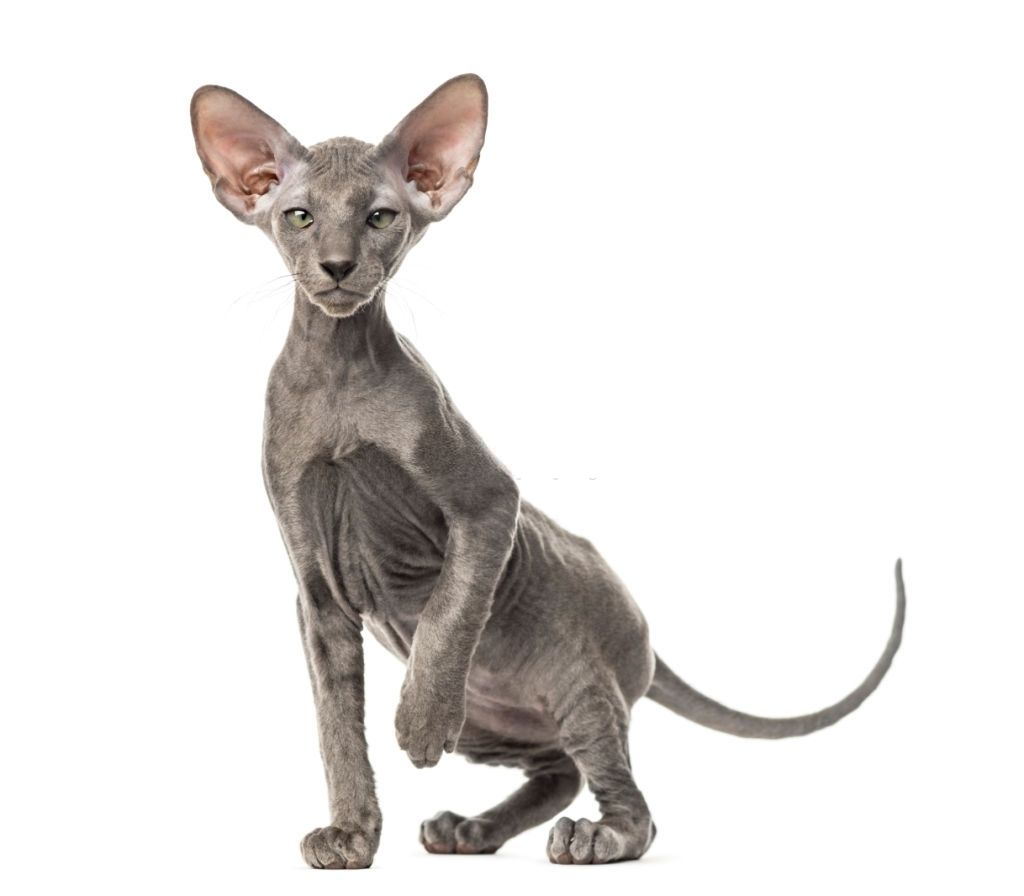 Jenis Kucing Langka Peterbald
