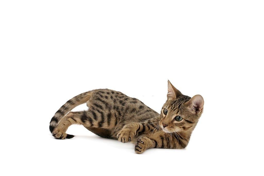 Jenis Kucing Langka Serengeti
