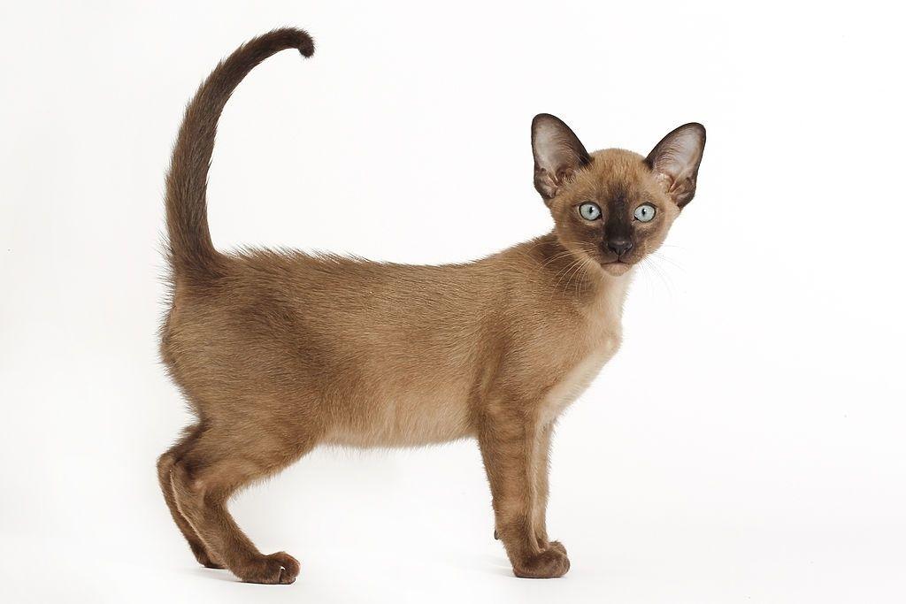 Jenis Kucing Langka Tonkin