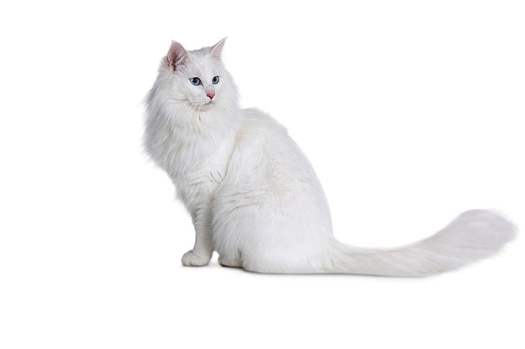 Jenis Kucing Langka Turkish Angora