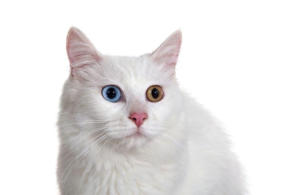 Jenis Kucing Langka Turkish Van