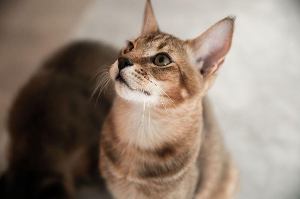 Kucing Bertelinga Lebar Chausie