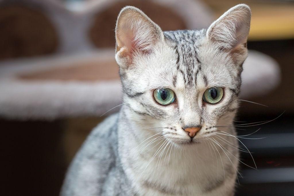 Kucing Bertelinga Lebar Egyptian Mau