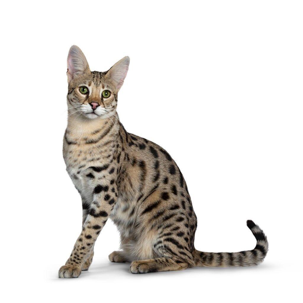 Kucing Bertelinga Lebar Savannah
