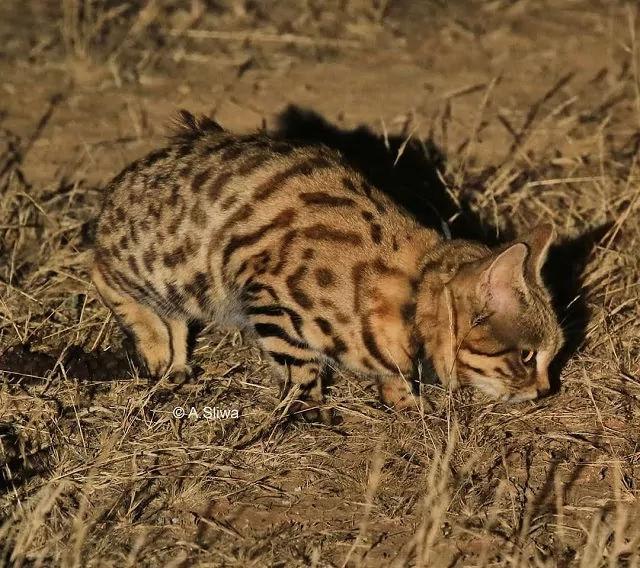Kucing Kaki Hitam Afrika