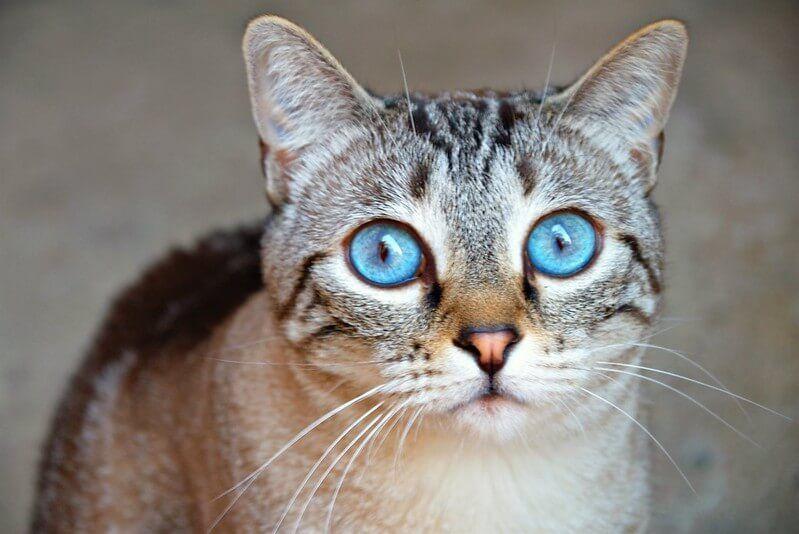 Jenis Kucing Langka di Dunia