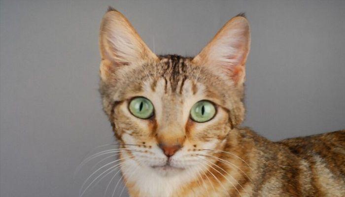 Kucing Sokoke