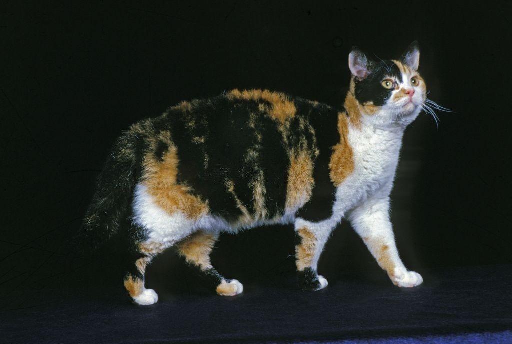 Ciri-ciri Kucing American Wirehair