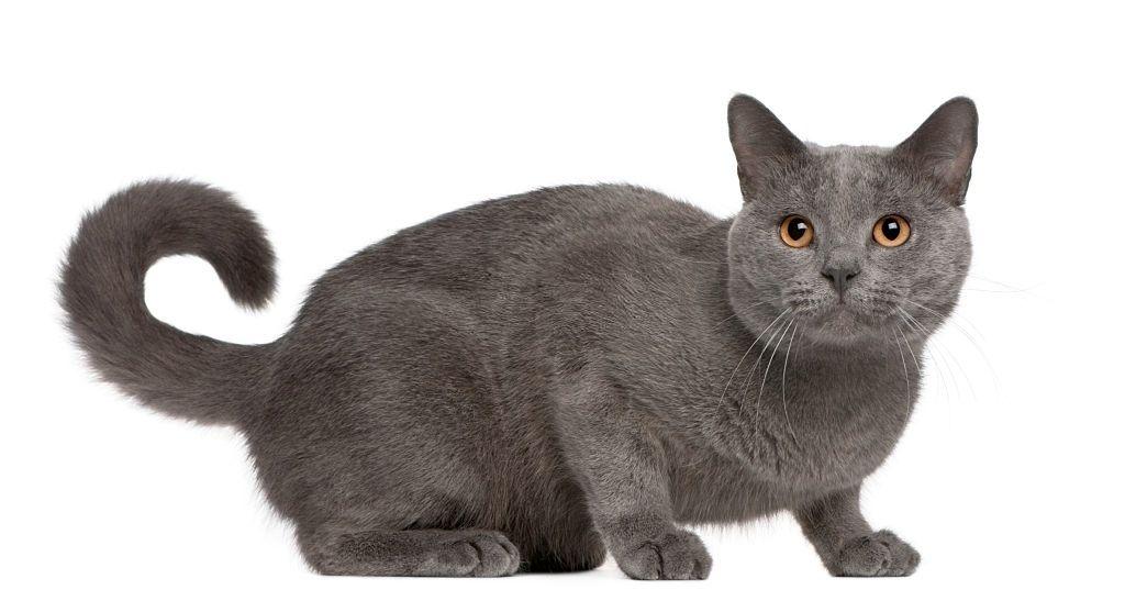 Ciri-ciri Kucing Chartreux