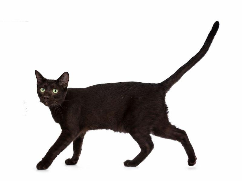 Ciri-ciri Kucing Havana Brown