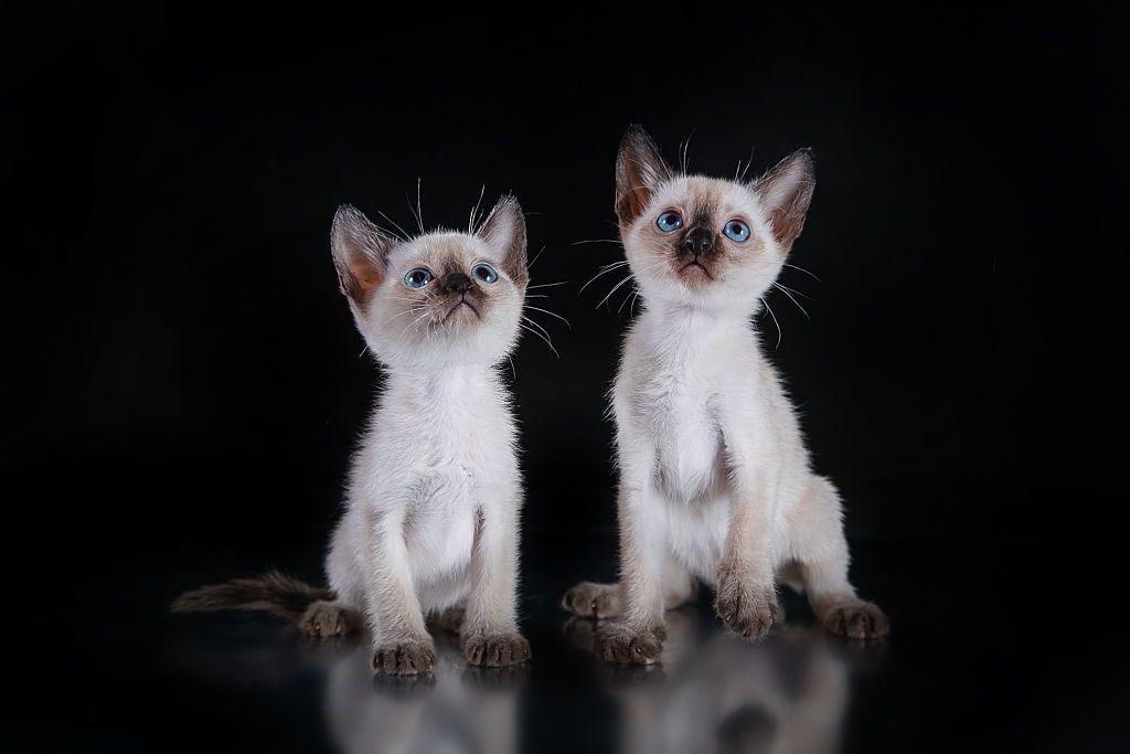 Ciri-ciri Kucing Tonkin