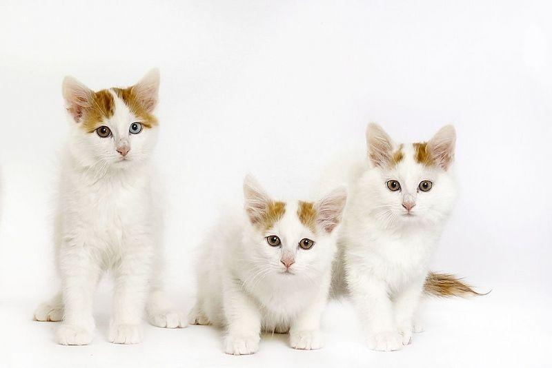 Ciri-ciri Kucing Turkish Van