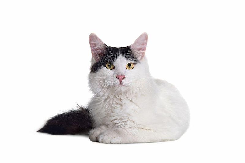 Jenis Kucing Turkish Van