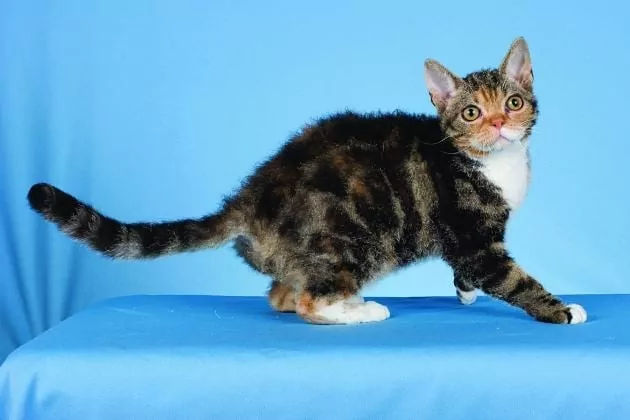 Kucing American Wirehair