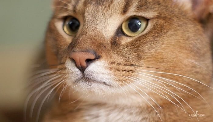Kucing Chausie