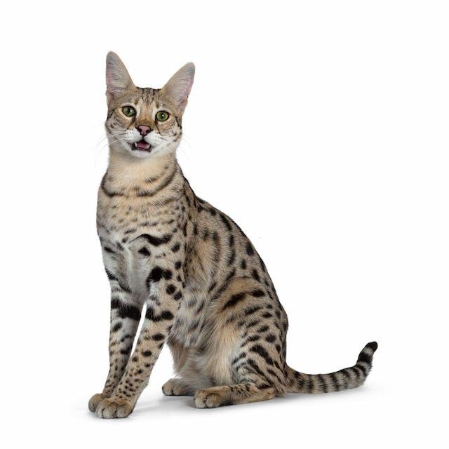 Kucing Savannah F1