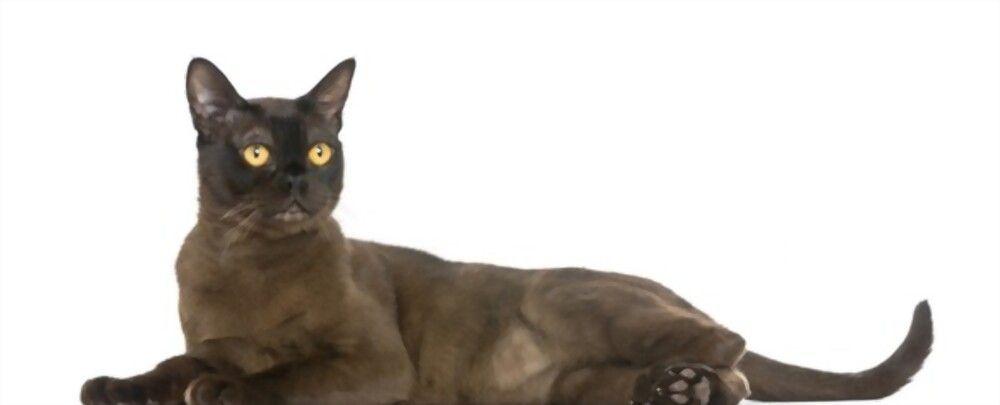 Ciri-ciri Kucing Bombay