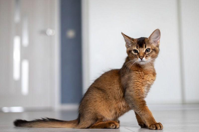 Ciri-ciri Kucing Somali